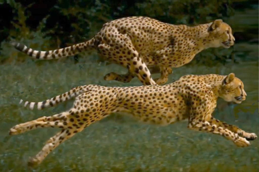 cheetah_blank