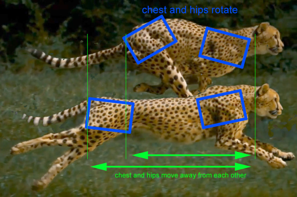 cheetah_gallop02